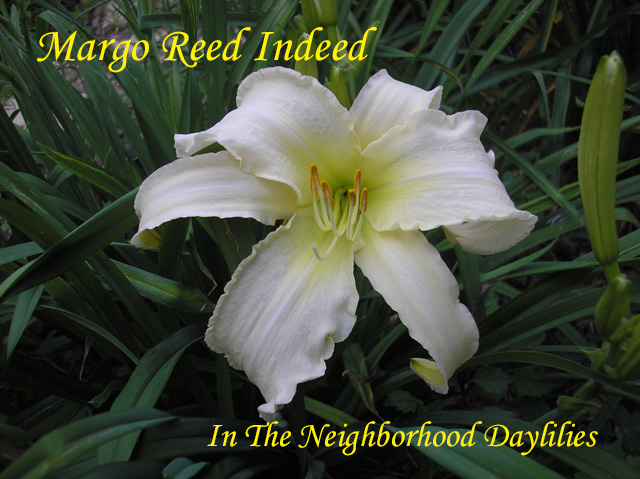 Margo Reed Indeed  (Murphy, J.P.,  2004)-Daylily;Day Lilly;Daylilies;Daylilies For Sale;CLICK ON IMAGE TO ENLARGE;Daylily Margo Reed Indeed;J.P.Murphy 2004 Daylily;Multiple Award Daylily;Cream White w'Pink Undertones & Small Ruffle White Edge Above Chartreuse Throat Daylily;Unusual Form Daylily;Reblooming Daylilies;Perennial