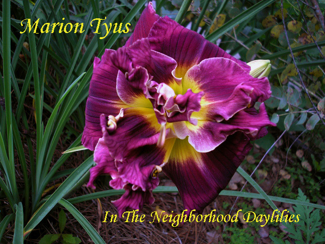 Marion Tyus  (Eller, N.,  2005)-Daylily;Daylilies;CLICK ON IMAGE TO ENLARGE;Marion Tyus Daylily;Eller 2005 Daylily;Double Daylily;Purple w' Darker Eye Daylily;Award Winning Daylily;Fragrant Daylilies;Reblooming Daylilies