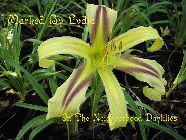 Marked By Lydia  (Temple, 1994)-Daylily Marked By Lydia;Temple Daylily;Medium Yellow w' Purple Eye Daylily;Spider Daylily;Award Winning Daylily;Perennials;Early Season Daylily;Reblooming Daylilies;Extended Blooming Time Daylilies;Diploid Daylily;Semi-evergreen Daylily
