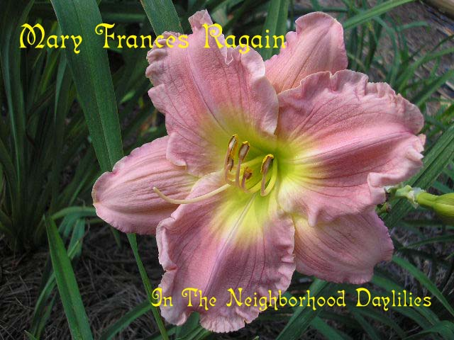 Mary Frances Ragain  (Carpenter, J., 1993)- Daylily;Day Lily;Daylilies;CLICK ON IMAGE TO ENLARGE;Daylily Mary Frances Ragain;J.Carpenter 1993 Daylily;Pink Self Daylily;Award Winning Daylily;Perennials;Fragrant Daylilies;Mid To Late Season Daylily;Reblooming Daylilies;Affordable Daylilies;Diploid Daylily;Semi-evergreen Daylily