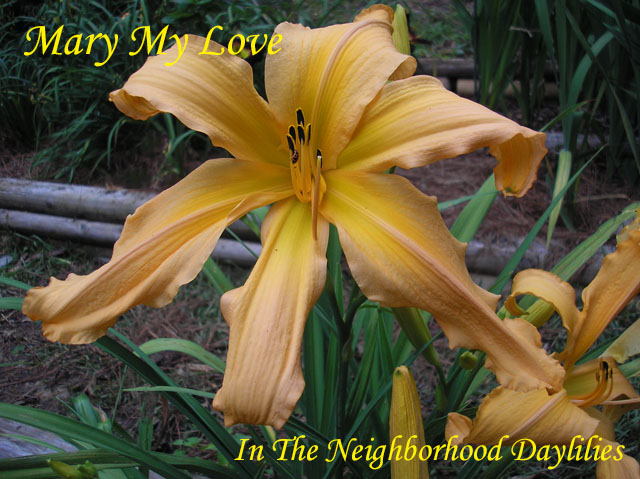 Mary My Love  (Netherton, J.,  2014)-CLICK ON IMAGE TO ENLARGE;Daylily;Daylilies;Daylillies;Daylily Mary My Love;J. Netherton 2014 Daylily;Large Tangerine Yellow 'Bud Builder' w' Orange Throat Daylily;Reblooming Daylilies;Fragrant Daylilies