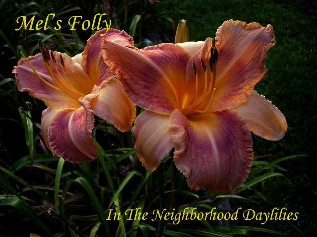 Mel's Folly  (Collins, 1986)-Daylily Mel's Folly;Collins Daylily;Rose w' Purple Eye Daylily;Perennial;Affordable Daylilies;Midseason Daylily;Tetraploid Daylily;Dormant Daylily