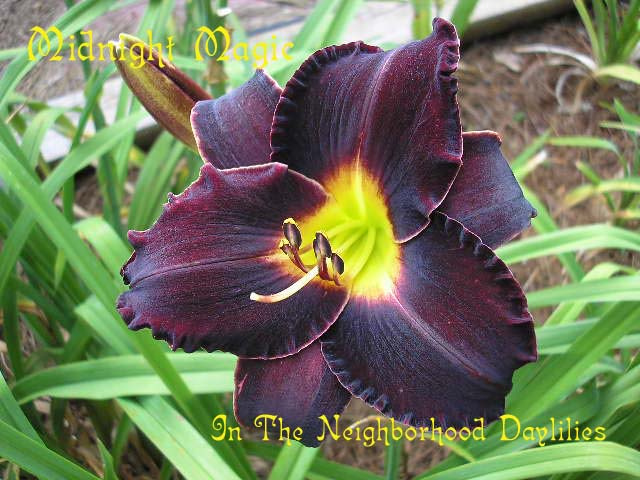 Midnight Magic  (Kinnebrew, 1979)-Daylily Midnight Magic;Kinnebrew Daylily;Black Red Self Daylily;Award Winning Daylily;Perennial;Affordable Daylilies;Early To Midseason Daylily;Reblooming Daylilies;Extended Blooming Time Daylilies;Tetraploid Daylily;Evergreen Daylily
