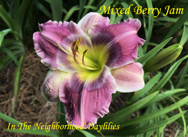 Mixed Berry Jam  (Salter, E.H.  2009)-Daylily;Daylilies;Day Lily;CLICK ON IMAGE TO ENLARGE;Mixed Berry Jam Daylily;E.H.Salter 2009 Daylily;Medium Purple w' Pale Hightlights Eye of Mixed Plum & Lavender Daylily;Reblooming Daylilies;Semi-evergreen Daylilies;Perennials