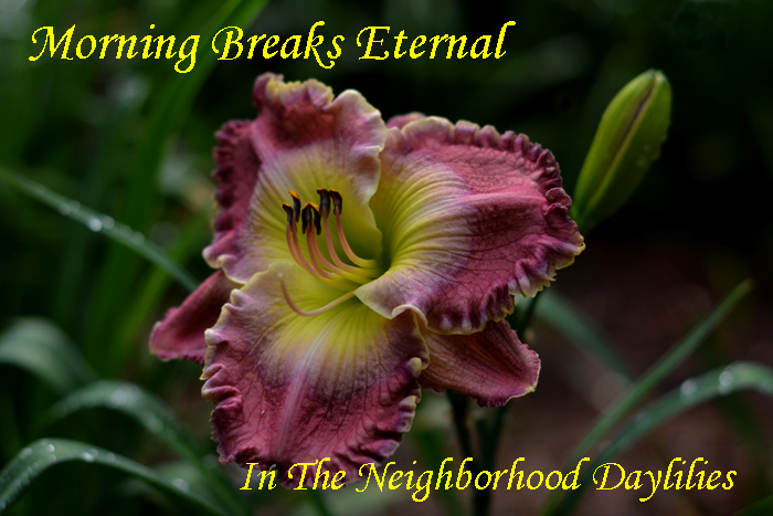 Morning Breaks Eternal  (Carpenter, J.,  2005)-Daylily;Daylillies;Daylilies;CLICK IMAGE TO ENLARGE;Daylilies For Sale;Morning Breaks Eternal Daylily;J.Carpenter 2005 Daylily;Purple w' Yellow Lavender Watermark & Edge Above Green Throat Daylily;Reblooming Daylilies;Fragrant Daylilies;Perennial