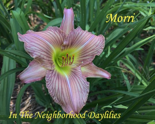 Morri  (Taylor, J., 1978)-Daylily;Daylilies;Daylillies;CLICK ON IMAGE TO ENLARGE;Daylily Morri;J.Taylor 1978 Daylily;Lavender Self w' Darker Veining Daylily;Perennial;Affordable Daylilies;Early Season Daylily;Extended Blooming Time Daylilies;Diploid Daylily;Semi-evergreen Daylily