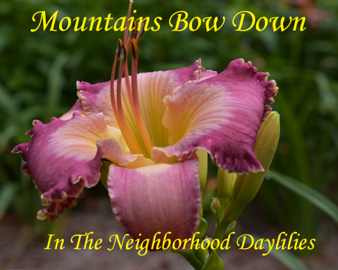 Mountains Bow Down  (Bell, T.,  2005)-Daylily;Day Lily;Daylilies;CLICK ON IMAGE TO ENLARGE;Daylilies For Sale;Daylily Mountains Bow Down;T.Bell 2005 Daylily;Lavender Mauve Bitone w' Chalky Lavender Watermark & Edge Above Green Throat Daylily;Reblooming Daylilies;Fragrant Daylilies;Perennial