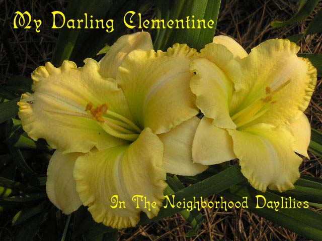 My Darling Clementine  (Salter, 1988)-Daylily My Darling Clementine;Salter Daylily;Yellow Self Daylily;Award Winning Daylily;Perennial;Affordable Daylilies;Early Season Daylily;Reblooming Daylilies;Tetraploid Daylily;Evergreen Daylily