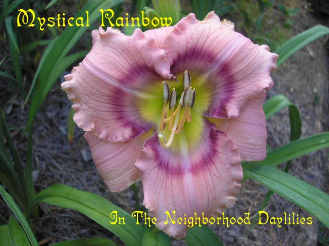 Mystical Rainbow  (Stamile, 1996)-Daylily Mystical Rainbow;Stamile Daylily;Pink w' Rose Raspberry & Charcoal Yellow Eye Daylily;Award Winning Daylily;Perennial;Affordable Daylilies;Early To Midseason Daylily;Reblooming Daylilies;Fragrant Daylilies;Extended Blooming Time Daylilies;Tetraploid Daylily;Dormant Daylily