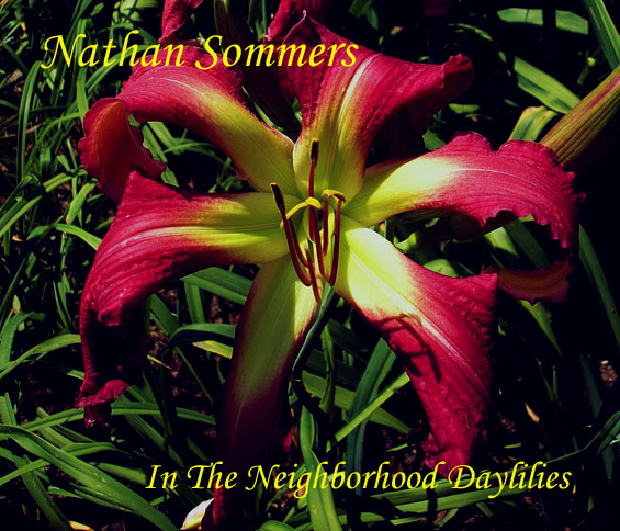 Nathan Sommers  (Roberts, N., 2001)-CLICK PICTURE;Daylily;Daylilies;Daylily Nathn Sommers;N. Roberts Daylily;Award Winning Daylily;Raspberry Red w' Green Throat Daylily;Reblooming Daylilies;Unusual Form Daylilies;Extended Bloom Time Daylily