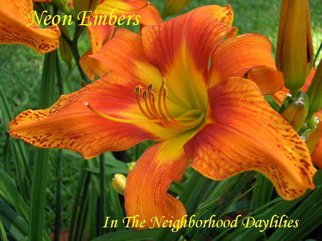 Neon Embers   (Scott, E.,  2002)-Daylily;Daylilies;CLICK ON IMAGE TO ENLARGE;Neon Embers Daylily;E. Scott 2002 Daylily;Neon Orange w' Bright Red Eye Daylily;Fragrant Daylilies;Unusual Form Daylily;Reblooming Daylilies