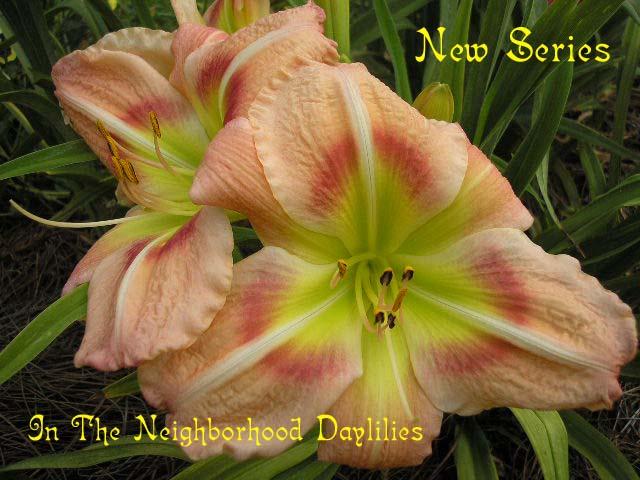 New Series (Carpenter, K., 1982)-CLICK PICTURE;Daylily;Daylilies;Daylily New Series;K.Carpenter Daylily;Pink w' Rose Eye Daylily;Award Winning Daylily;Perennial;Affordable Daylilies;Midseason Daylily;Reblooming Daylilies;Extended Blooming Time Daylilies;Diploid Daylily;Semi-evergreen Daylily