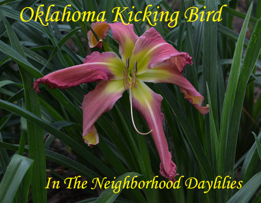 Oklahoma Kicking Bird  (Marley  1987)-Daylily;Daylillies;Daylilies;CLICK ON IMAGE TO ENLARGE;Daylily Oklahoma Kicking Bird;Marley 1987 Daylily;Award Winning Daylily;Mauve Rose Blend w'Light Green Eyezone & Green Throat Daylily;Reblooming Daylilies;Daylilies For Sale;Perennial