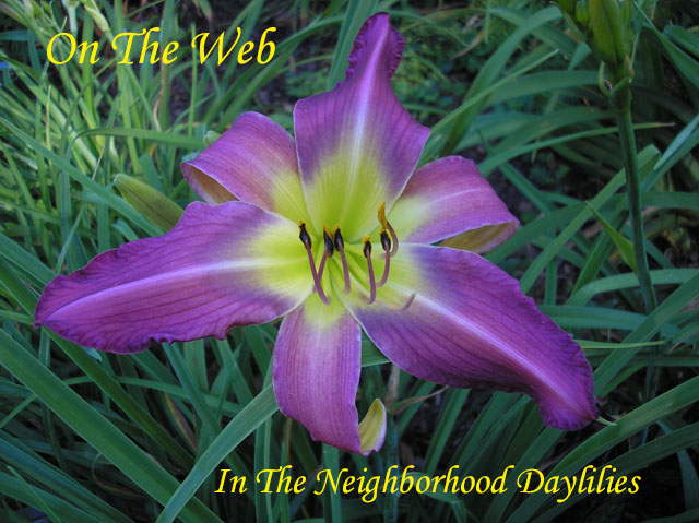 On The Web  (Lambertson, 1998)-Daylily On The Web;Lambertson Daylily;Medium Violet Self Daylily;Spider Daylily;Perennials;Early To Midseason Daylilies;Tetraploid Daylily;Semi-evergreen Daylily