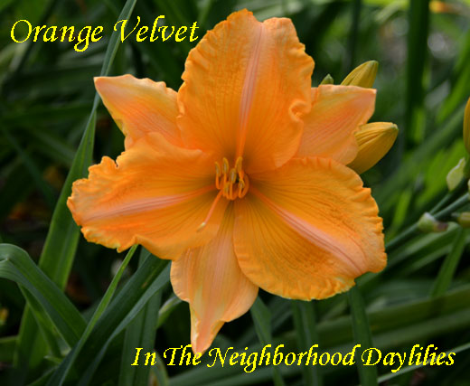 Orange Velvet  (Joiner, 1988)-Daylily;Daylilies;CLICK ON IMAGE TO ENLARGE;Daylily Orange Velvet;Joiner 1988 Daylily;Light Orange w'Green Throat Daylily;Award Winning Daylily;Perennial;Affordable Daylilies;Midseason Daylily;Reblooming Daylilies;Diploid Daylily;Semi-evergreen Daylily