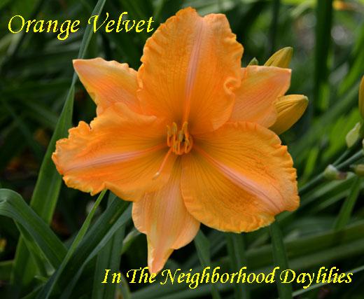 Orange Velvet  (Joiner, 1988)-Daylily;Daylilies;CLICK ON IMAGE TO ENLARGE;Daylily Orange Velvet;Joiner 1988 Daylily;Light Orange w'Green Throat Daylily;Award Winning Daylily;Perennial;Affordable Daylilies;Midseason Daylily;Reblooming Daylilies;Diploid Daylily;Semi-evergreen Daylily