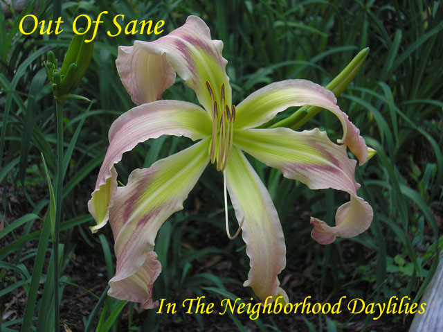 Out Of Sane  (Murphy, J.P.,  2009)-Daylily;Day Lily;Daylilies;CLICK ON IMAGE TO ENLARGE;Daylilies For Sale;Out Of Sane Daylily;2009 J.P. Murphy Daylily;Light Pink w' Rose Band Above Deep Green Throat Daylily;Reblooming Daylilies;Spider Daylily;Perennials
