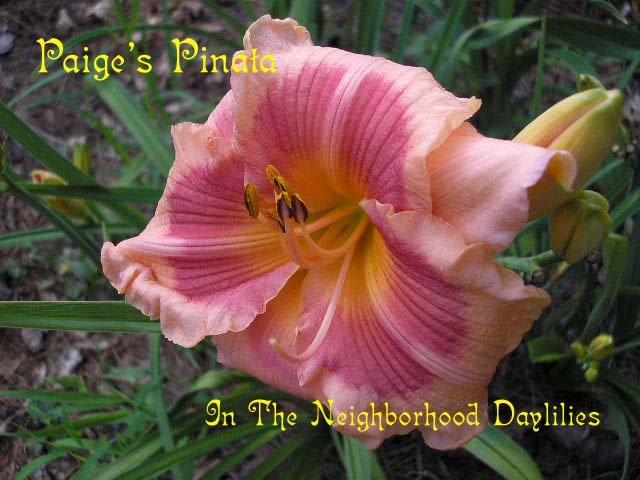 Paige's Pinata  (Hansen, 1990)-Daylily;Daylilies;Daylillies;CLICK IMAGE TO ENLARGE;Daylily Paige's Pinata;Hansen 1990 Daylily;Peach w' Fuchsia Band & Orange Eye Daylily;Award Winning Daylily;Perennials;Affordable Daylilies;Early To Midseason Daylily;Reblooming Daylilies;Extended Blooming Time Daylilies;Diploid Daylily;Semi-evergreen Daylily