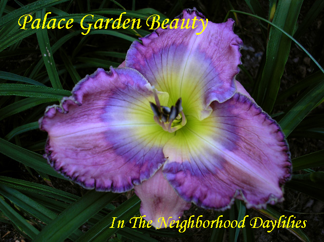 Palace Garden Beauty  (Carpenter, J.,  2000)-Daylily;Day Lilly;Daylilies;Daylilies For Sale;CLICK ON IMAGE TO ENLARGE;Daylily Palace Garden Beauty;J.Carpenter 2000 Daylily;Award Winning Daylily;Lavender Blend w'Lavender Blue Watermark & Edge;Reblooming Daylilies;Fragrant Daylilies;Perennial