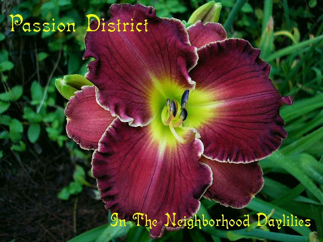 Passion District  (Carr, 1997)-Daylily Passion District;Carr Daylily;Red w' Lighter Watermark Daylily;Award Winning Daylily;Perennials;Affordable Daylilies;Midseason Daylily;Reblooming Daylilies;Tetraploid Daylily;Evergreen Daylily