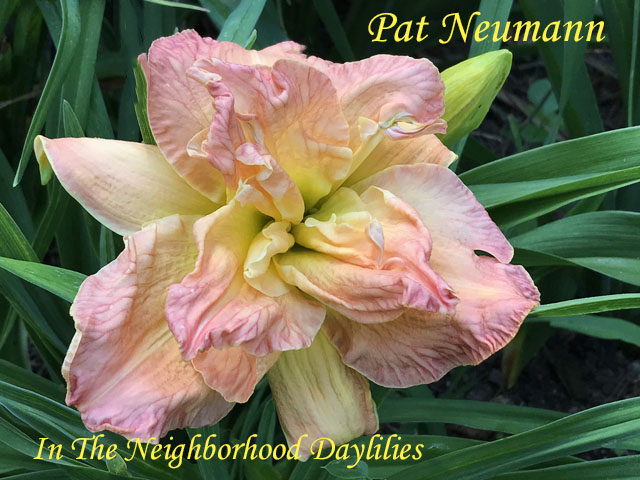 Pat Neuman  (Trimmer,  1998)-Daylily;Daylilies;Day Lily;Daylily Pat Neuman;Trimmer 1998 Daylily;Pink & Cream Blend w' Green Throat Daylily;Award Winning Daylily;100% Double Daylily;Fragrant Daylilies;Perennial Daylily