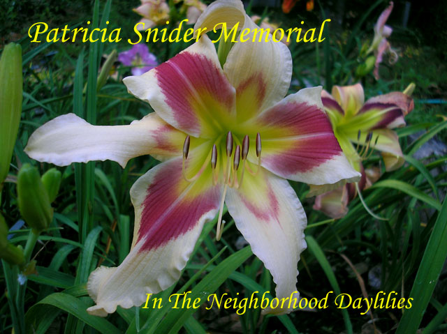Patricia Snider Memorial  (Payne, L.H.,  2004)-Daylily;Day Lilly;Daylilies;Daylilies For Sale;CLICK ON IMAGE TO ENLARGE;Daylily Patricia Snider Memorial;L.H.Payne 2004 Daylily;Award Winning Daylily;Cream w'Red Band Above Green Throat Daylily;Unusual Form Daylily;Reblooming Daylilies;Perennial