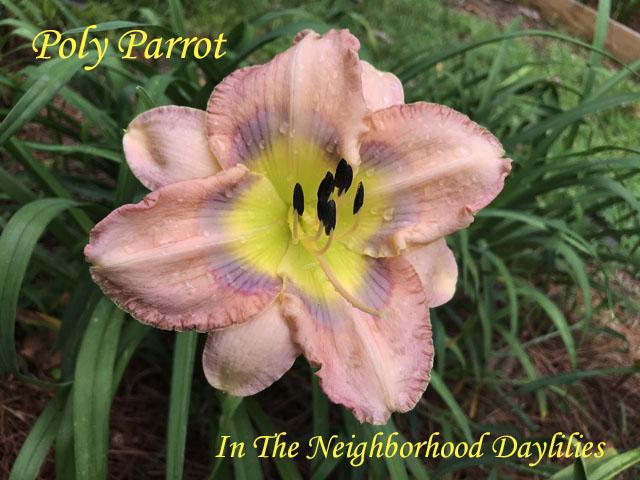 Poly Parrot    (Morse,  2007)-Daylily;Daylilies;CLICK PICTURE;Poly Parrot Daylily;Morse 2007 Daylily;Lavender Orchid w' Lavender Eye Daylily;75% Polymerous Daylily;Tall Daylilies;Tetraploid Daylily