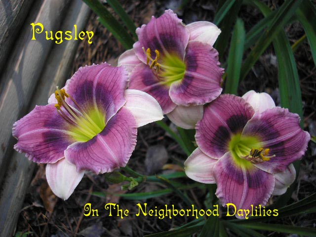 Pugsley  (Trimmer, J.,  2000)-CLICK PICTURE;Daylily Pugsley;J.Trimmer Daylily;Rosy Purple Lavender Bitone w' Purple Eye Daylily;Daylily Pictures;Perennials;Award Winning Daylilies;Early Midseason Daylilies;Reblooming Daylilies;Evergreen Daylilies