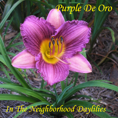 Purple De Oro  (DeGroot,  2000)-Daylily;Day Lily;Daylilies;CLICK ON IMAGE TO ENLARGE;Daylilies For Sale;Daylily Purple De Oro;DeGroot 2000 Daylily;Award Winning Daylily;Medium Dark Purple w' Lighter Midrib & Edge Above Gold Throat Daylily;Reblooming Daylilies;Perennials