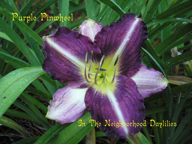 Purple Pinwheel  (Kennedy, 1985)-Daylily Purple Pinwheel;Kennedy Daylily;Black Purple w' Dusted Purple Bitone Daylily;Award Winning Daylily;Perennials;Affordable Daylilies;Unusual Form Daylilies;Early To Midseason Daylily;Diploid Daylily;Dormant Daylily