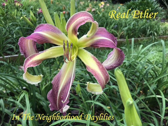 Real Ether (Murphy, J. P. (2008)-Daylily;Daylilies;Daylillies;CLICK ON IMAGE TO ENLARGE;Daylily Real Ether;J.P. Murphy 2008 Daylily;Extra Large Blooming Daylilies;Lavender w' Heavy Veining & Purple Band & Cream Edge Daylily;Perennial Daylilies