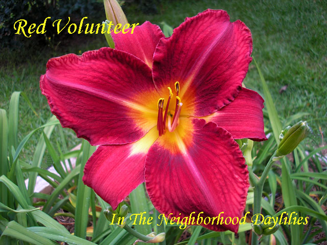 Red Volunteer (Oakes, 1984)-Daylily;Daylilies;CLICK ON IMAGE TO ENLARGE;Daylily Red Volunteer;Oakes 1984 Daylily;Red Self Daylily;Award Winning Daylily;Perennial;Affordable Daylilies;Midseason Daylily;Tetraploid Daylily;Dormant Daylily