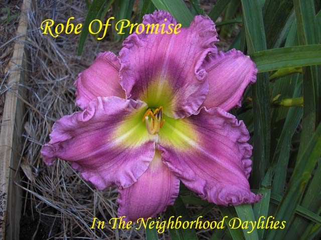 Robe Of Promise  (Dougherty,H.,  2003)-Daylily;Day Lily;Daylilies;CLICK IMAGE TO ENLARGE;Daylilies For Sale;Daylily Robe Of Promise;H.Dougherty 2003 Daylily;Purple w' Darker Eye Above Yellow throat Daylily;Reblooming Daylilies;Perennials