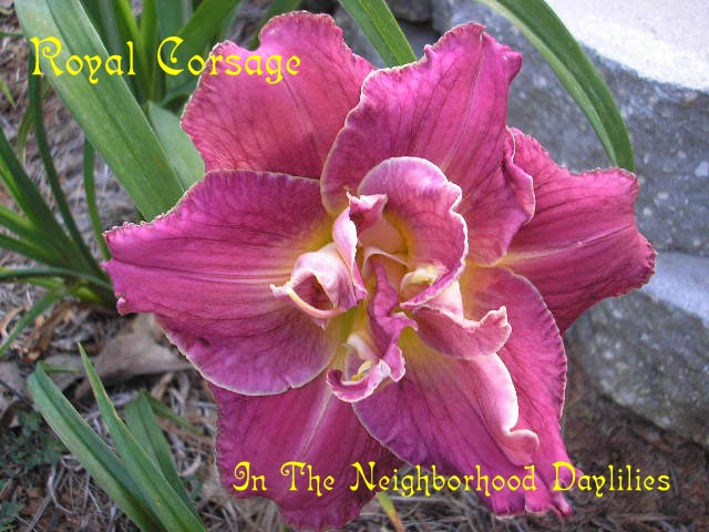 Royal Corsage  (Stamile,  2004)-Daylily;Day Lilly;Daylilies;Daylilies For Sale;CLICK ON IMAGE TO ENLARGE;Daylily Royal Corsage;Stamile 2004 Daylily;Royal Purple Self Above Green Throat Daylily;Double Daylily; Reblooming Daylilies;Fragrant Daylilies;Perennial