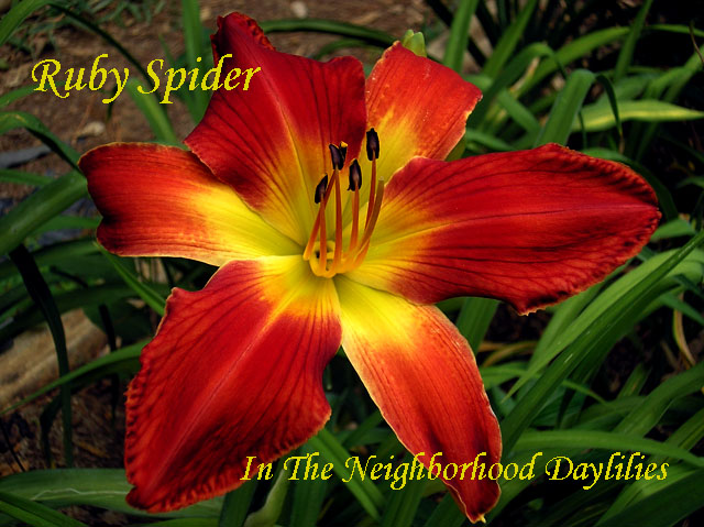 Ruby Spider  (Stamile, 1991)-Daylily Ruby Spider;Stamile Daylily;Ruby Red Self Daylily;Award Winning Daylily;Perennials;Affordable Daylilies;Unusual Form Daylily;Early Season Daylily;Tetraploid Daylily;Dormant Daylily