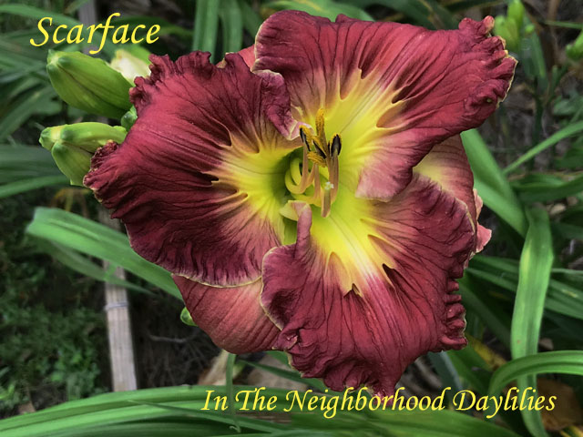 Scarface  (Hansen, D.,  2009)-Daylily;Daylilies;Day Lilly;Scarface Daylily;Dan Hansen 2009 Daylily;Rosy Red Very Sculptured Self Above Chartreuse Throat Daylily;Reblooming Daylilies;Perennial Daylilies;