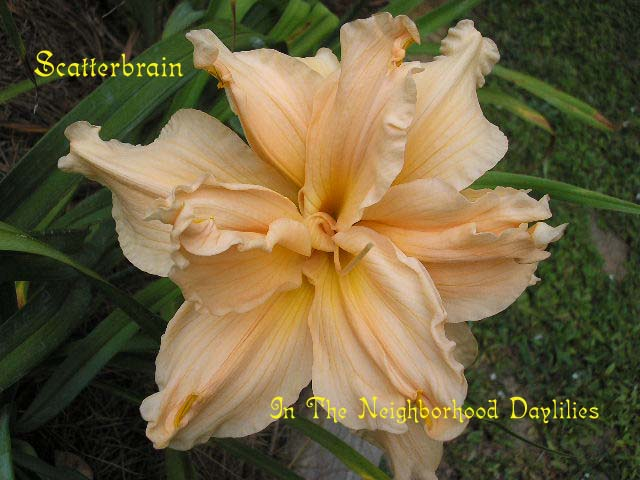 Scatterbrain   (Joiner, 1988)-Click on Picture to Enlarge;Daylily Scatterbrain;Joiner 1988 Daylily;Light Peach Pink Self Daylily;Double Daylily;Award Winning Daylily;Perennials;Affordable Daylilies;Fragrant Daylilies;Midseason Daylily;Reblooming Daylilies;Diploid Daylily;Semi-evergreen Daylily