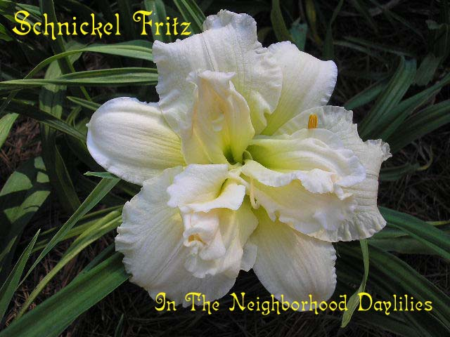 Schnickel Fritz   (Kirchhoff, D., 1996)-Daylily;Daylilies;Daylillies;CLICK ON IMAGE TO ENLARGE; Schnickel Fritz Daylily;D.Kirchhoff 1996 Daylily;Near White Self w' Green Throat Daylily;Double Daylily;Award Winning Daylily;Perennials;Early To Midseason Daylily;Reblooming Daylilies;Diploid Daylily;Dormant Daylily