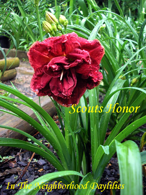 Scout's Honor  (Trimmer, J.  2008)-Daylily;Daylilies;CLICK IMAGE TO ENLARGE;Scout's Honor Daylily;J.Trimmer 2008 Daylily;Double Daylily;Red Self Above Green Throat Daylily;Reblooming Daylilies