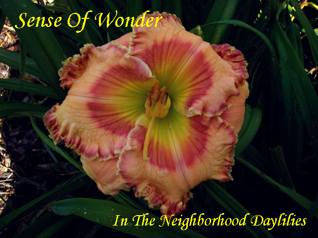 Sense Of Wonder  (Trimmer,  2005)-Daylily;Day Lily;Daylilies;CLICK IMAGE IN ENLARGE;Daylilies For Sale;Daylily Sense Of Wonder;2005 Trimmer Daylily;Award Winning Daylily;Almond Pink w' Red Eye & Edge Above Green Throat Daylily;Perennials