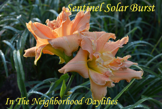 Sentinel Solar Burst  (Little, H.,  2002)-Daylily;Daylilies;Daylillies;CLICK ON IMAGE TO ENLARGE;Daylily Sentinel Solar Burst;2002 H.Little Daylily;Peach Blend Daylily;Double Daylily;Reblooming Daylilies