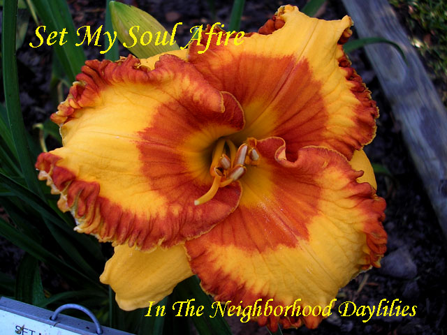 Set My Soul Afire  (Bell, T.  2007)-Daylily;Daylilies;CLICK PICTURE TO ENLARGE;Daylily Set My Soul Afire;Tim Bell 2007 Daylily;Reblooming Daylilies;Fragrant Daylilies;Light Orange w'Dark Orange Eye & Edge Daylily;Early to Midseason Daylily