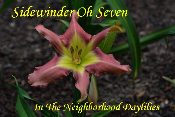 Sidewinder Oh Seven   (Hansen,  2003)-Daylily;Daylilies;Daylillies;Daylily Sidewinder Oh Seven;2003 D.Hansen Daylily;Orchid Mist w' Violet Eye Above Green Throat Daylily;Reblooming Daylilies;Unusual Form Daylily
