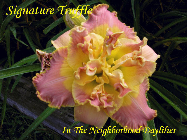 Signature Truffle  (Kirchhoff, D.,  2004)-Daylily;Daylilies;CLICK ON IMAGE TO ENLARGE;Daylily Signature Truffle;D.Kirchhoff 2004 Daylily;Award Winning Daylily;Coral Peach Rose w' Gold Edge Daylily;Reblooming Daylilies;Double Daylily;Extended Bloom Time Daylily