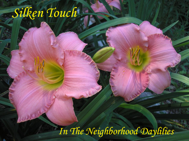 Silken Touch  (Stamile, 1990)-Daylily Silken Touch;Stamile Daylily;Rose Pink Self Daylily;Daylily Picture;Perennial;Award Winning Daylily;Fragrant Daylily;Affordable Daylily