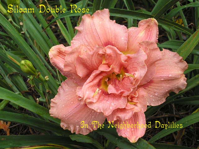 Siloam Double Rose  (Henry, P., 1979)-Daylily;Daylilies;Day Lily;Daylillies;CLICK ON IMAGE TO ENLARGE;Daylily Siloam Double Rose;P.Henry Daylily;Rose w' Red Eye Daylily;Double Daylily;Daylily Picture;Perennial;Award Winning Daylily;Fragrant Daylilies;Affordable Daylilies