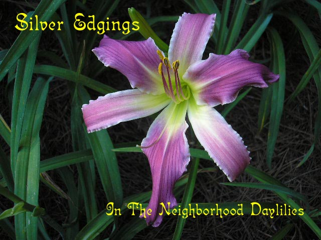 Silver Edgings  (Reinke, J.,  2004)-CLICK PICTURE;Daylily Silver Edgings;J. Reinke Daylily;Unusual Form Daylily;Fragrant Daylilies;Lavender w' Silvery Blue Edge Daylily;Semi-evergreen Daylily
