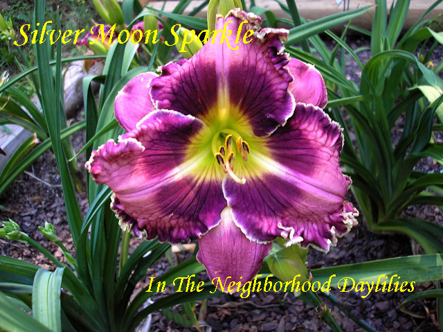 Silver Moon Sparkle  (Trimmer  2009)-Daylily;Daylilies;Day Lilly:CLICK ON IMAGE TO ENLARGE;Daylily Silver Moon Sparkle Daylily;Trimmer 2009 Daylily;Orchid w' Purple Eye & Edge Above Green Throat Daylily;Reblooming Daylilies