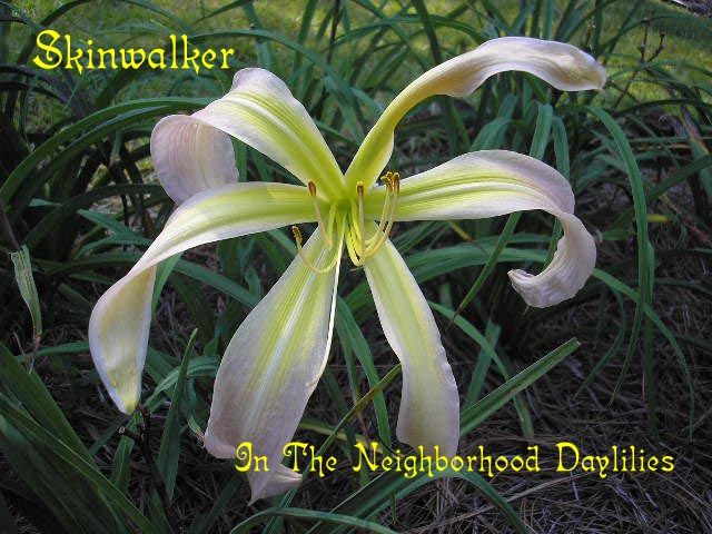 Skinwalker  (Roberts, N., 1997)-Daylily;Day Lily;Daylilies;CLICK ON IMAGE TO ENLARGE;Daylily Skinwalker;N.Roberts 1997 Daylily;Lavender Blend Daylily;Spider Daylily;Daylily Picture;Perennial;Award Winning Daylily;Midseason Daylily;Dormant Daylily