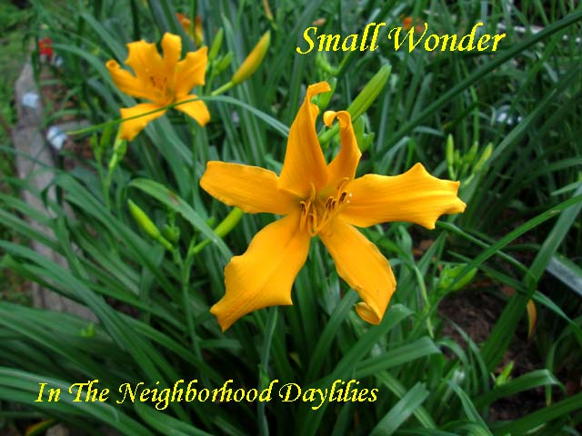 Small Wonder  (Bennett, T.J., 1965) Four Fans-Daylily Small Wonder;T.J.Bennett Daylily;Orange Self Daylily;Spider Daylily;Daylily Picture;Perennial;Affordable Daylilies;Early Midseason Daylily;Dormant Daylily